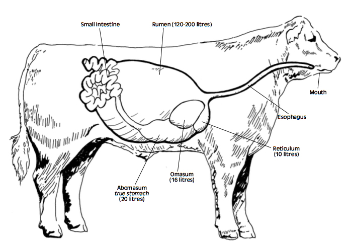 Ruminant Digestive System Diagram Cow Digestive System Process